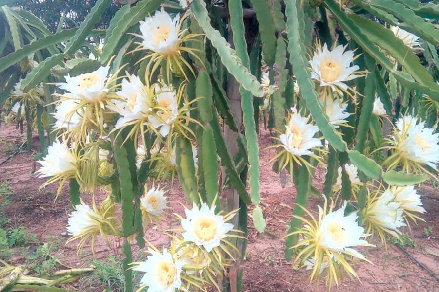 Florada Pitaias