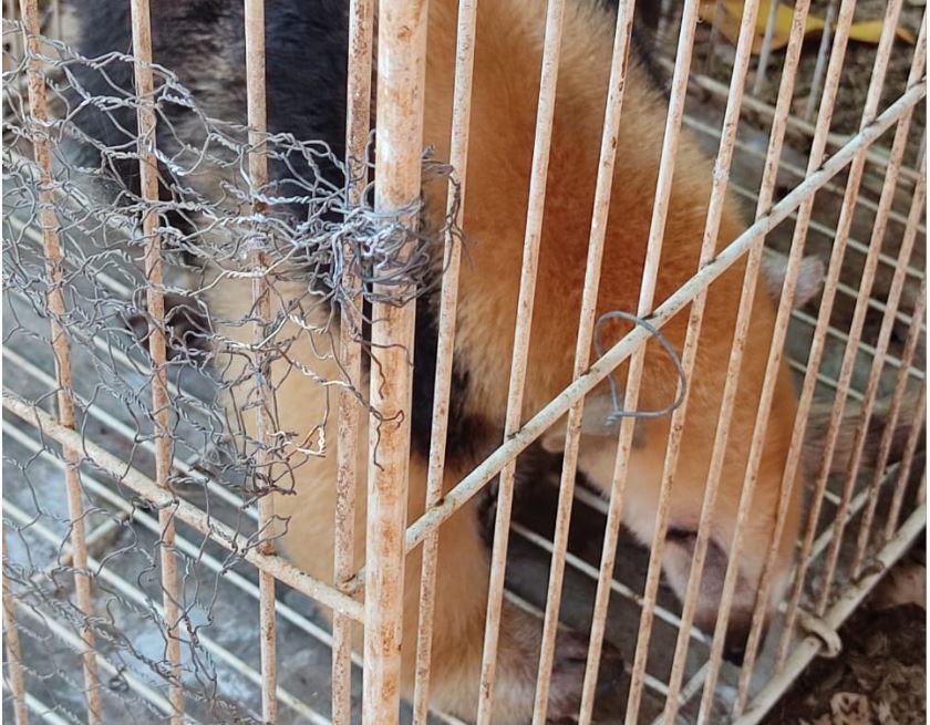 Tamanduá-mirim é resgatado por equipes do IAT e solto na natureza