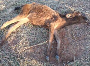 Morador de Umuarama é multado por deixar gado morrendo de fome