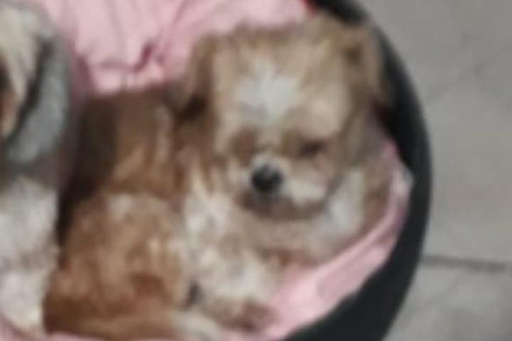 Cãozinho Spaik, que é cego e surdo, está desaparecido em Umuarama