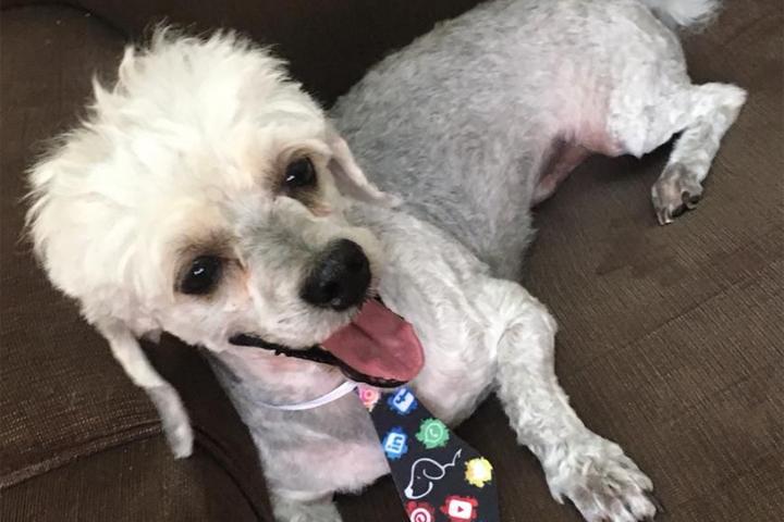 Cachorrinho Hachi é encontrado e já está com  a tutora